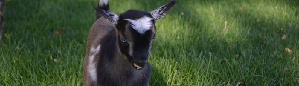 Walsh Kids Nigerian Dwarf Goats